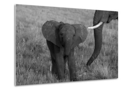An African Elephant, Loxodonta Africana, Calf Grazing with its Mother-Beverly Joubert-Metal Print