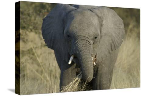Elephant Eating Grasses, Upper Vumbura Plains, Botswana-Anne Keiser-Stretched Canvas Print