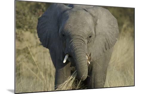 Elephant Eating Grasses, Upper Vumbura Plains, Botswana-Anne Keiser-Mounted Photographic Print