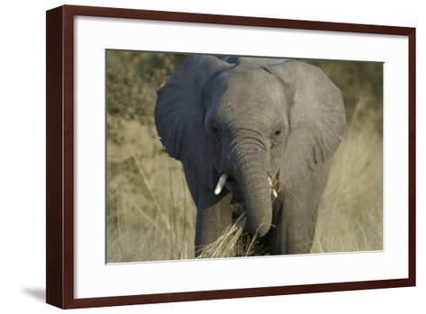 Elephant Eating Grasses, Upper Vumbura Plains, Botswana-Anne Keiser-Framed Art Print