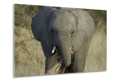Elephant Eating Grasses, Upper Vumbura Plains, Botswana-Anne Keiser-Metal Print