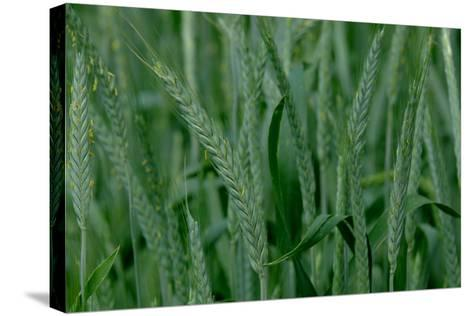 A Close-Up of Tall Grass in Denver, Colorado-Paul Damien-Stretched Canvas Print