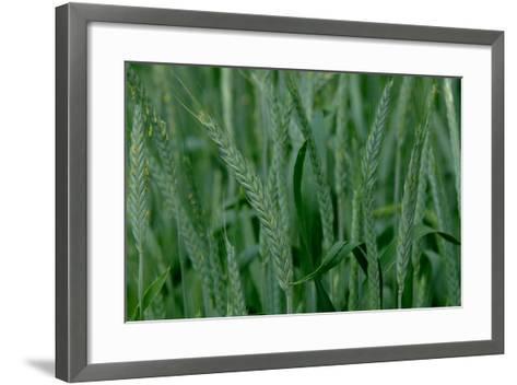A Close-Up of Tall Grass in Denver, Colorado-Paul Damien-Framed Art Print