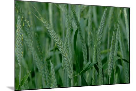 A Close-Up of Tall Grass in Denver, Colorado-Paul Damien-Mounted Photographic Print