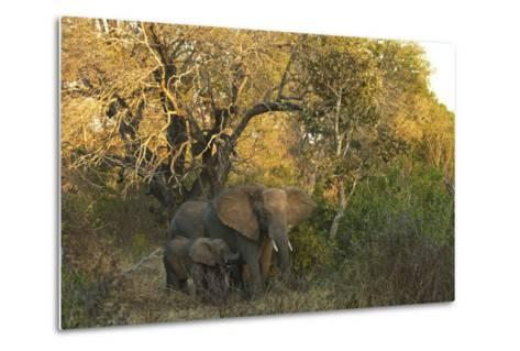 An African Elephant and Calf in South Africa's Timbavati Game Reserve-Steve Winter-Metal Print