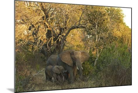 An African Elephant and Calf in South Africa's Timbavati Game Reserve-Steve Winter-Mounted Photographic Print