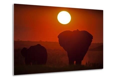 African Elephants, Loxodonta Africana, Grazing under the Setting Sun-Beverly Joubert-Metal Print