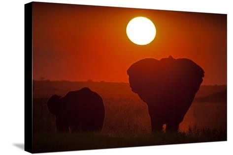 African Elephants, Loxodonta Africana, Grazing under the Setting Sun-Beverly Joubert-Stretched Canvas Print