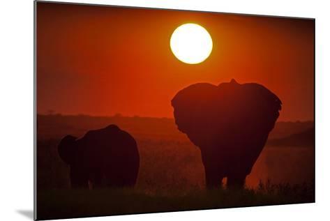 African Elephants, Loxodonta Africana, Grazing under the Setting Sun-Beverly Joubert-Mounted Photographic Print