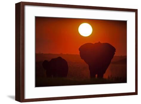 African Elephants, Loxodonta Africana, Grazing under the Setting Sun-Beverly Joubert-Framed Art Print