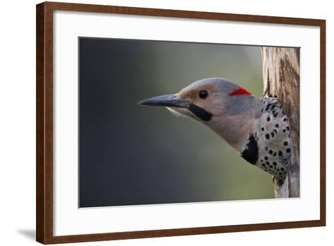 A Northern Flicker in the Hollow of a Tree-Michael Quinton-Framed Art Print