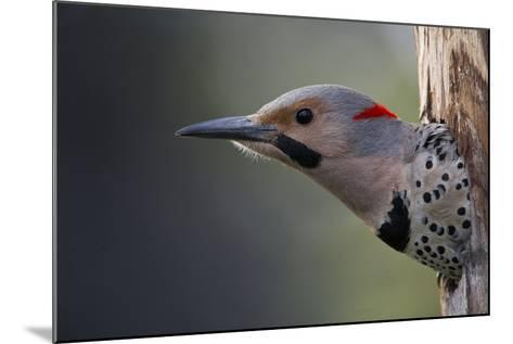 A Northern Flicker in the Hollow of a Tree-Michael Quinton-Mounted Photographic Print