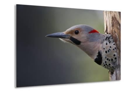 A Northern Flicker in the Hollow of a Tree-Michael Quinton-Metal Print