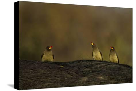Three Yellow-Billed Oxpeckers Perch on Top of an African Buffalo, Syncerus Caffer-Beverly Joubert-Stretched Canvas Print