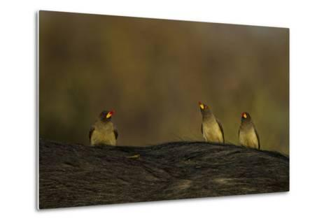 Three Yellow-Billed Oxpeckers Perch on Top of an African Buffalo, Syncerus Caffer-Beverly Joubert-Metal Print
