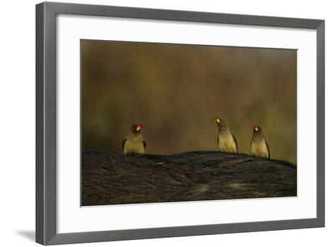 Three Yellow-Billed Oxpeckers Perch on Top of an African Buffalo, Syncerus Caffer-Beverly Joubert-Framed Art Print