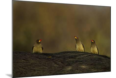 Three Yellow-Billed Oxpeckers Perch on Top of an African Buffalo, Syncerus Caffer-Beverly Joubert-Mounted Photographic Print