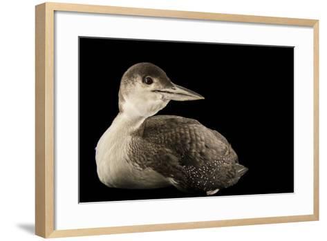 A Common Loon, Gavia Immer, at International Bird Rescue-Joel Sartore-Framed Art Print
