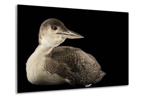 A Common Loon, Gavia Immer, at International Bird Rescue-Joel Sartore-Metal Print