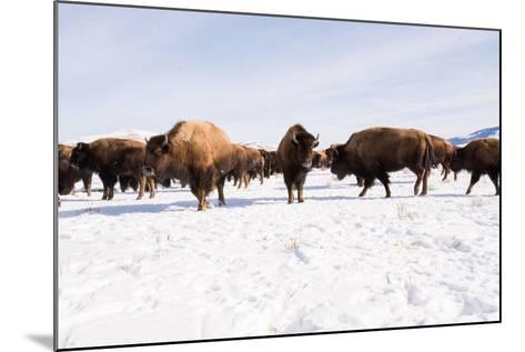 Bison in the 24,700-Acre National Elk Refuge Near Jackson, Wyoming-Charlie Hamilton James-Mounted Photographic Print