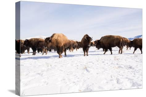 Bison in the 24,700-Acre National Elk Refuge Near Jackson, Wyoming-Charlie Hamilton James-Stretched Canvas Print