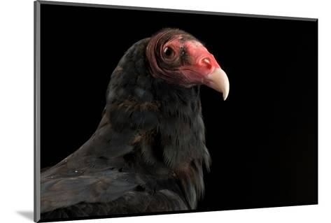 A Portrait of a Turkey Vulture (Cathartes Aura)-Joel Sartore-Mounted Photographic Print