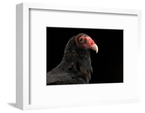 A Portrait of a Turkey Vulture (Cathartes Aura)-Joel Sartore-Framed Art Print