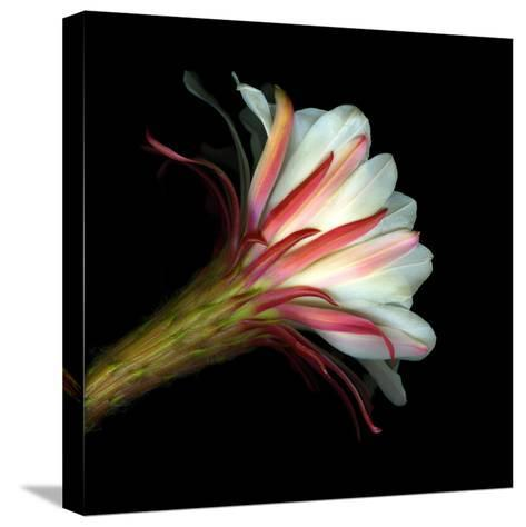 Elegant Cactus Flower Against a Dramatic Black Background-Christian Slanec-Stretched Canvas Print