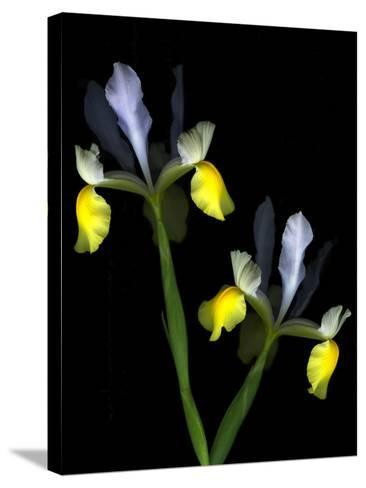 Two Orchid Flowers Isolated on Black Background-Christian Slanec-Stretched Canvas Print
