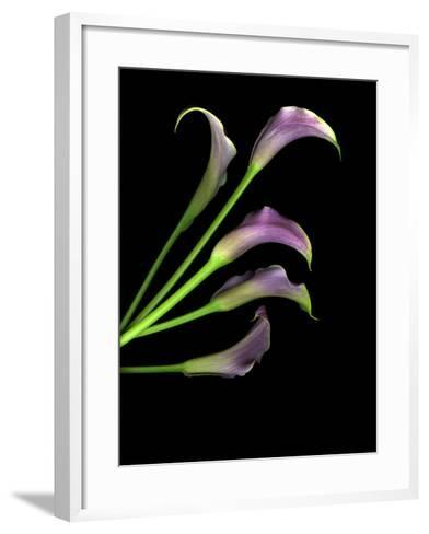 Five Vibrant Calla Lilies Isolated Against a Black Background-Christian Slanec-Framed Art Print