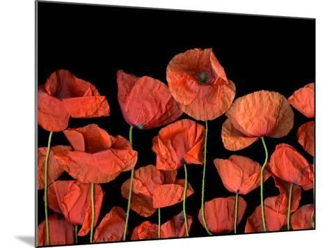 California Red Poppies Isolated Against Black Background-Christian Slanec-Mounted Photographic Print