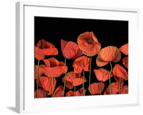 California Red Poppies Isolated Against Black Background-Christian Slanec-Framed Art Print