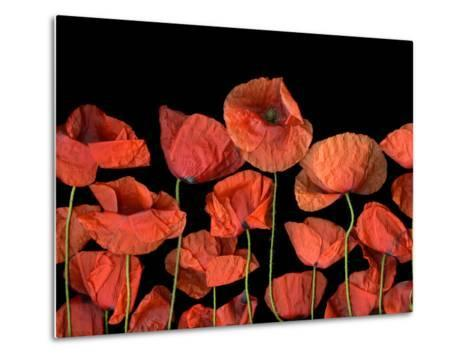 California Red Poppies Isolated Against Black Background-Christian Slanec-Metal Print