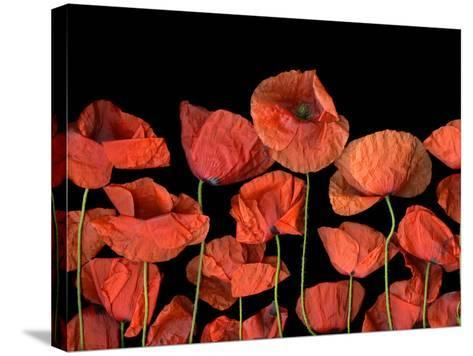 California Red Poppies Isolated Against Black Background-Christian Slanec-Stretched Canvas Print