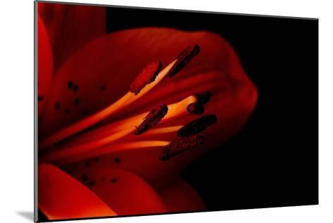 Orange Lily Against Black Background-Jennifer Peabody-Mounted Photographic Print