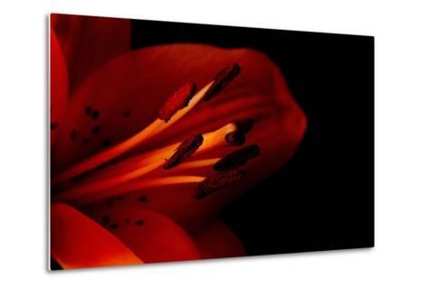 Orange Lily Against Black Background-Jennifer Peabody-Metal Print