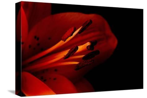 Orange Lily Against Black Background-Jennifer Peabody-Stretched Canvas Print