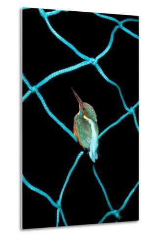 European Kingfisher Alcedo Atthis Perched on Blue Fishing Net-Darroch Donald-Metal Print