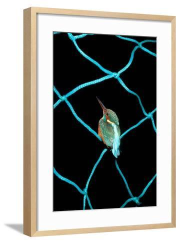 European Kingfisher Alcedo Atthis Perched on Blue Fishing Net-Darroch Donald-Framed Art Print