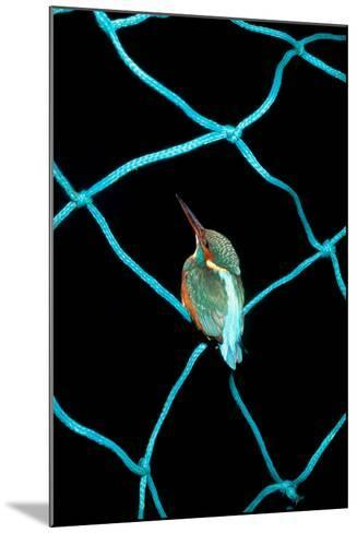 European Kingfisher Alcedo Atthis Perched on Blue Fishing Net-Darroch Donald-Mounted Photographic Print