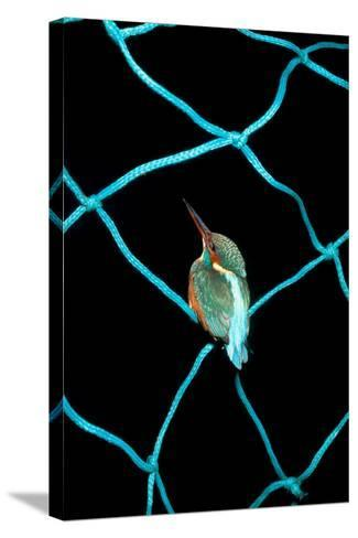 European Kingfisher Alcedo Atthis Perched on Blue Fishing Net-Darroch Donald-Stretched Canvas Print