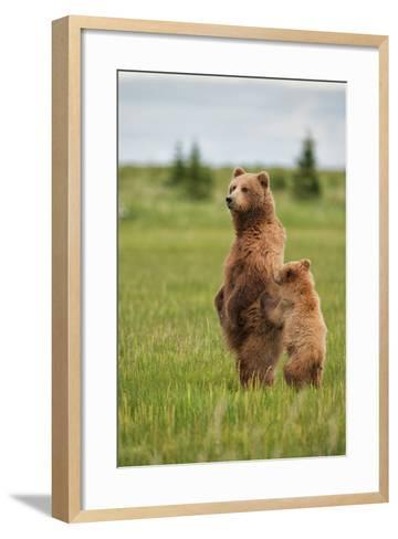 Coastal Brown Bears Standing Up in a Sedge Field in Lake Clark National Park-Andrew Czerniak-Framed Art Print