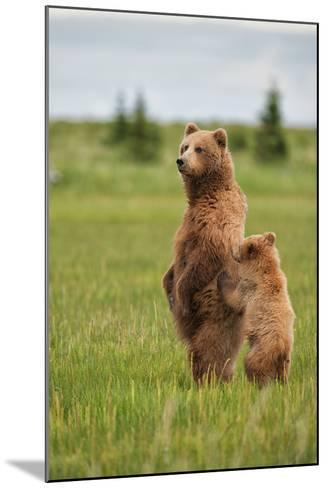 Coastal Brown Bears Standing Up in a Sedge Field in Lake Clark National Park-Andrew Czerniak-Mounted Photographic Print
