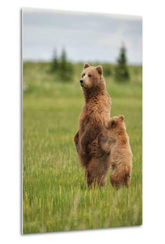 Coastal Brown Bears Standing Up in a Sedge Field in Lake Clark National Park-Andrew Czerniak-Metal Print
