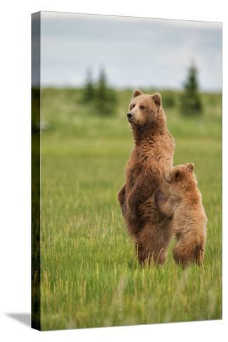 Coastal Brown Bears Standing Up in a Sedge Field in Lake Clark National Park-Andrew Czerniak-Stretched Canvas Print