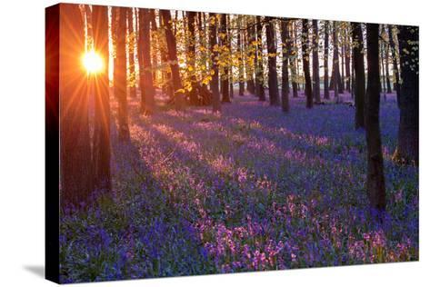 Bluebells at Sunset-Inguna Plume-Stretched Canvas Print