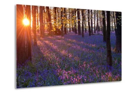 Bluebells at Sunset-Inguna Plume-Metal Print