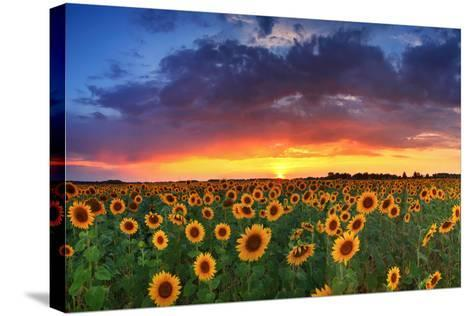 Beautiful Field of Sunflowers on the Sunset Background-Anton Petrus-Stretched Canvas Print