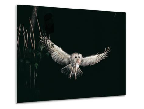 Tawny Owl in the Night, Flghting Whit Prey Field or Wood Mouse (Apodemus Sylvaticus)-Giovanni Giuseppe Bellani-Metal Print