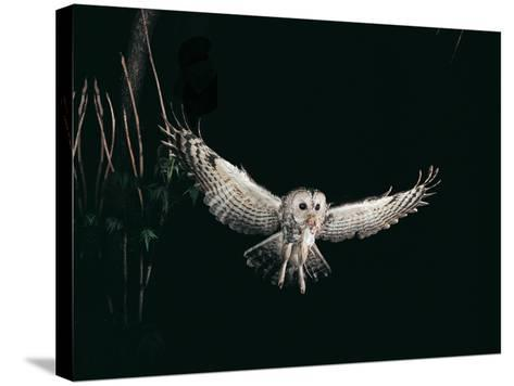 Tawny Owl in the Night, Flghting Whit Prey Field or Wood Mouse (Apodemus Sylvaticus)-Giovanni Giuseppe Bellani-Stretched Canvas Print